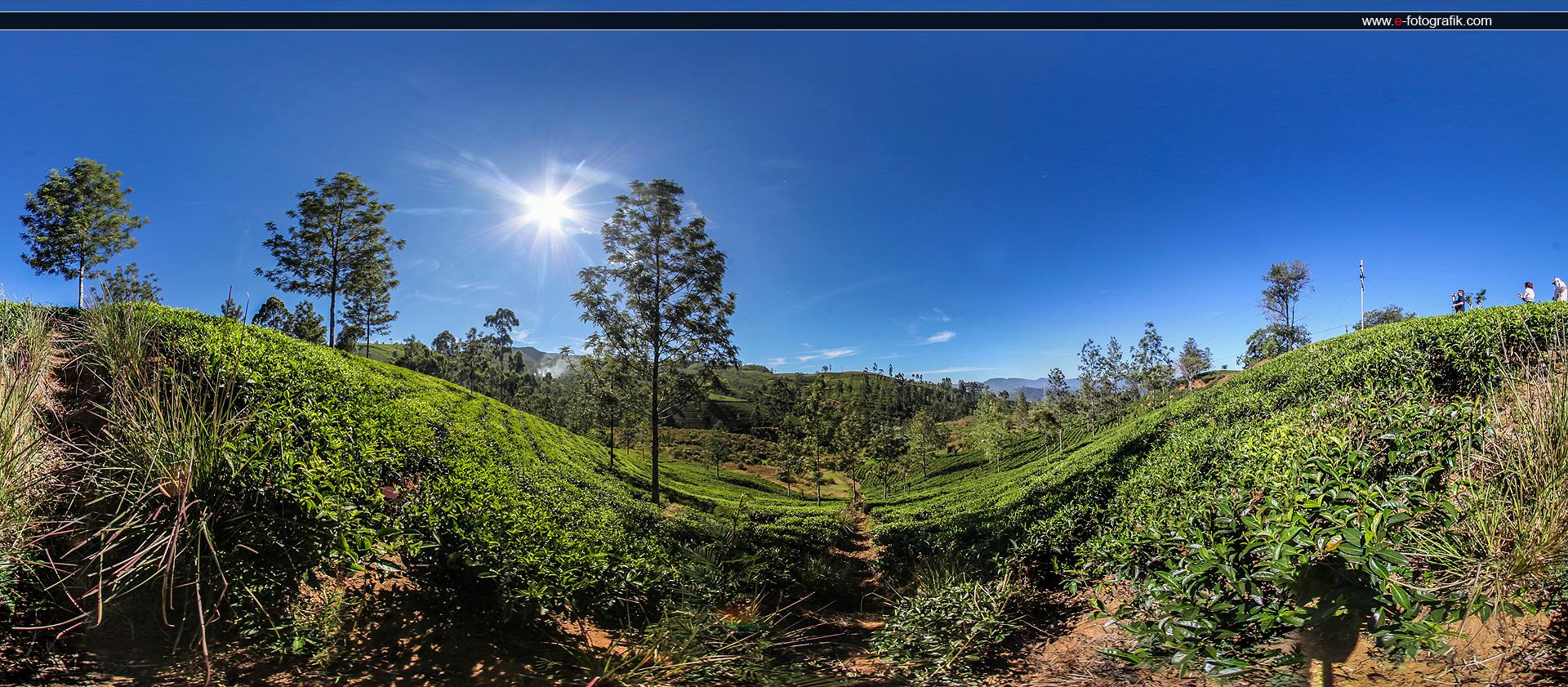 pole herbaciane na cejlonie