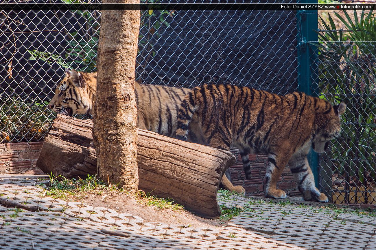 dwa-tygrysy-tajlandia