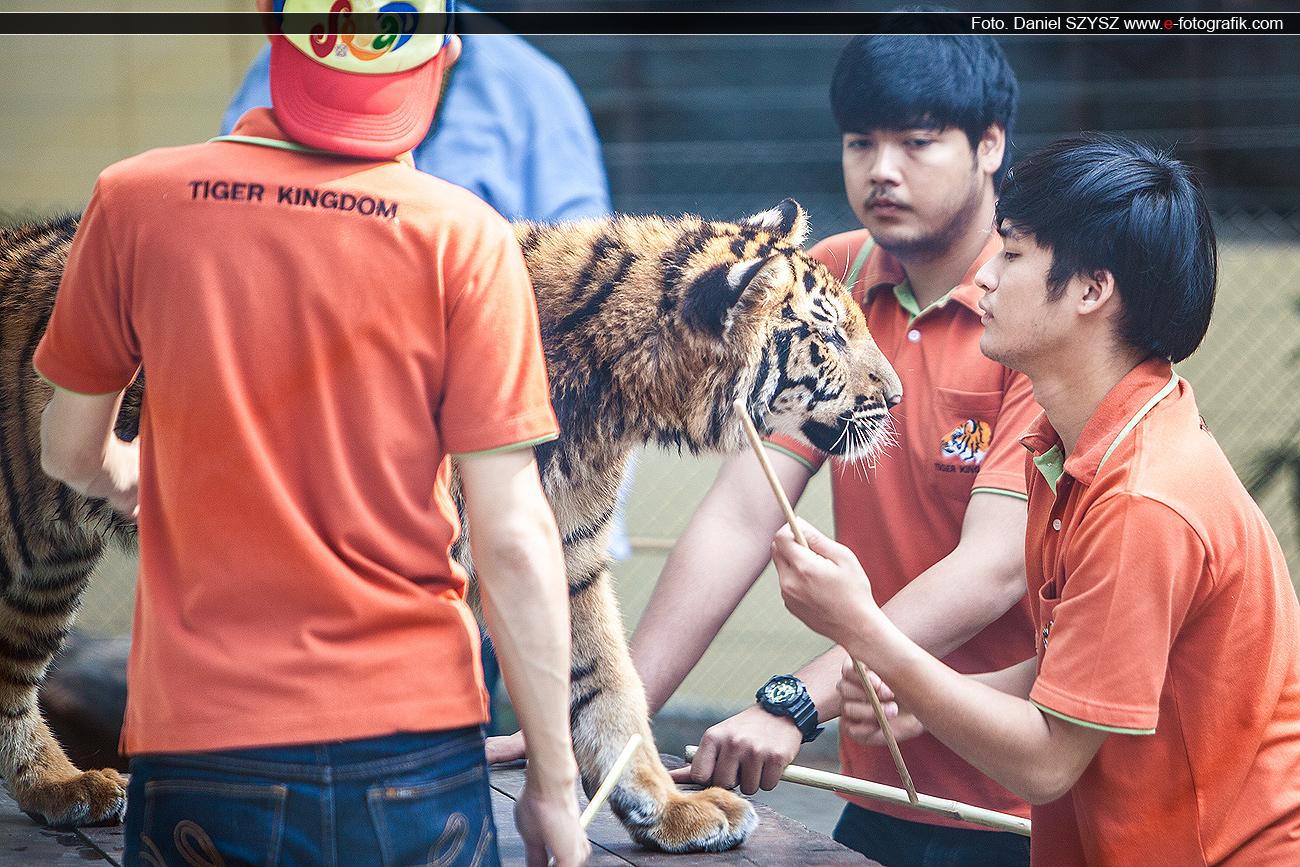 szysz-tajlandia-tygrys