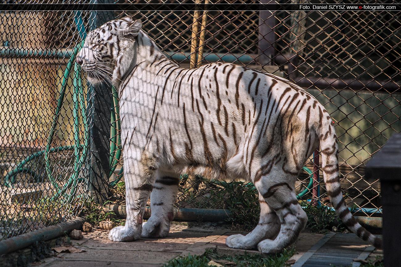 szysz-tygrys-biały-tajlandia