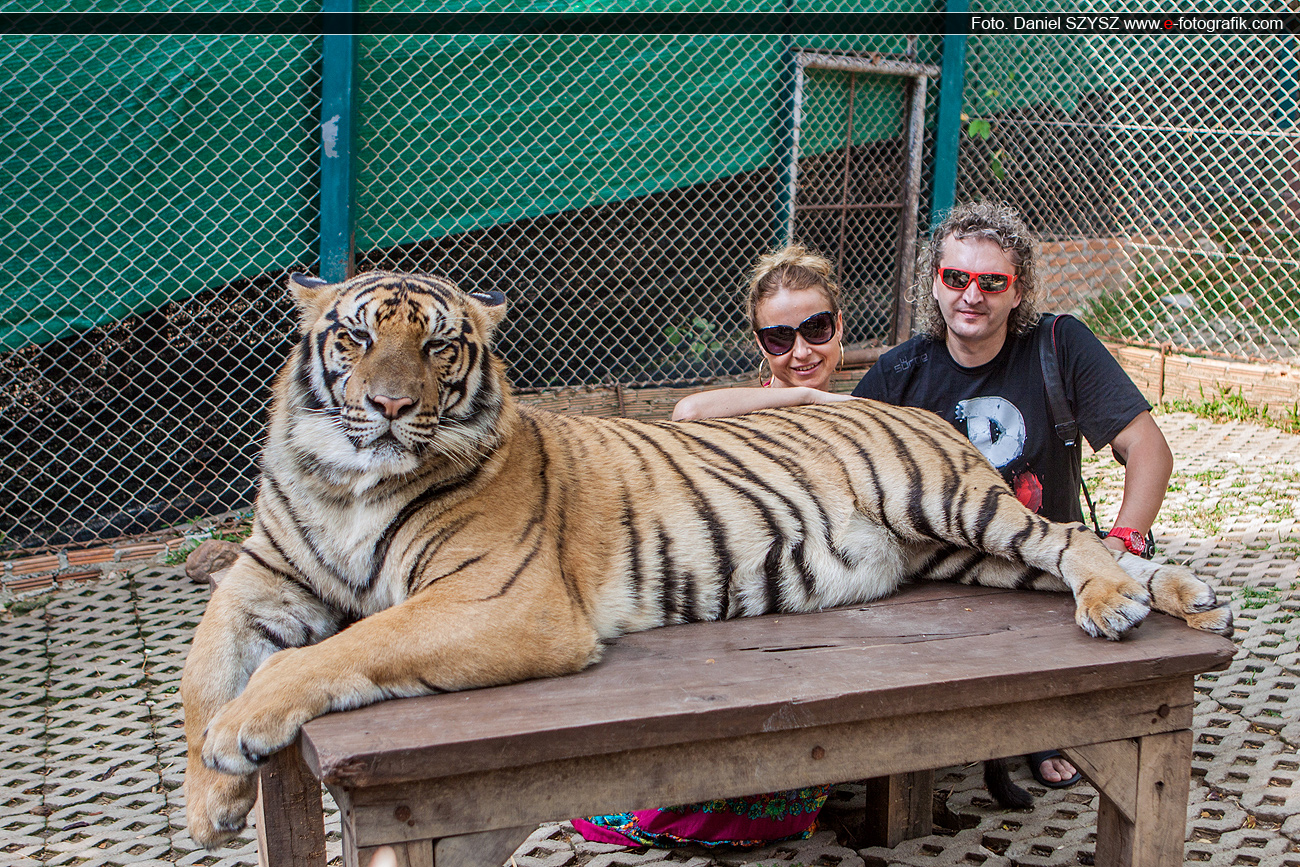 travel-szysz-tajlandia-tygrys