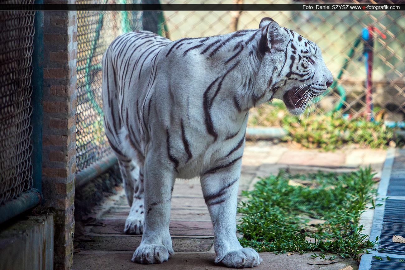 tygrys-biały-szysz-travel
