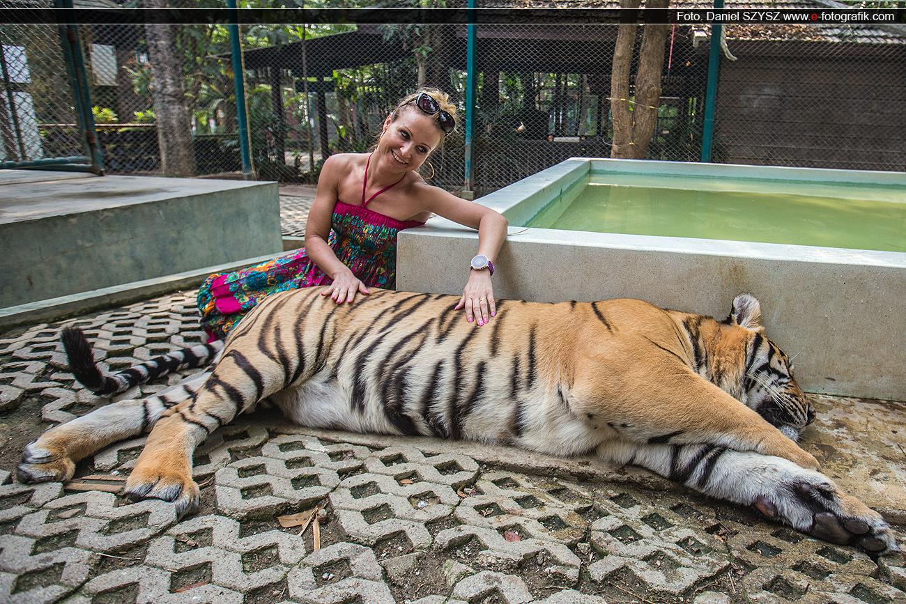 tygrys-szysz-fhoto