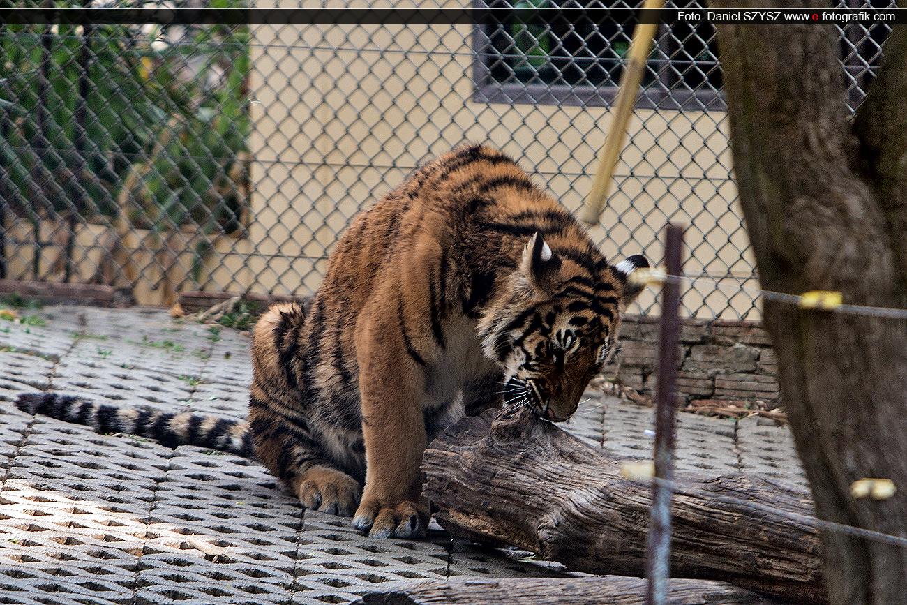 tygrys-szysz-tajlandia-klatka