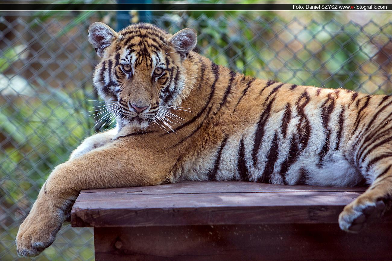 tygrys-tajlandia-szysz