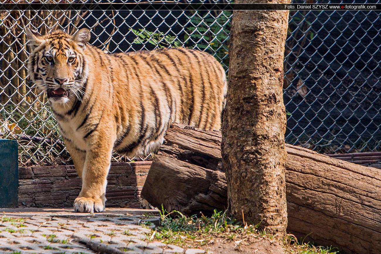 tygrys-tajlandia