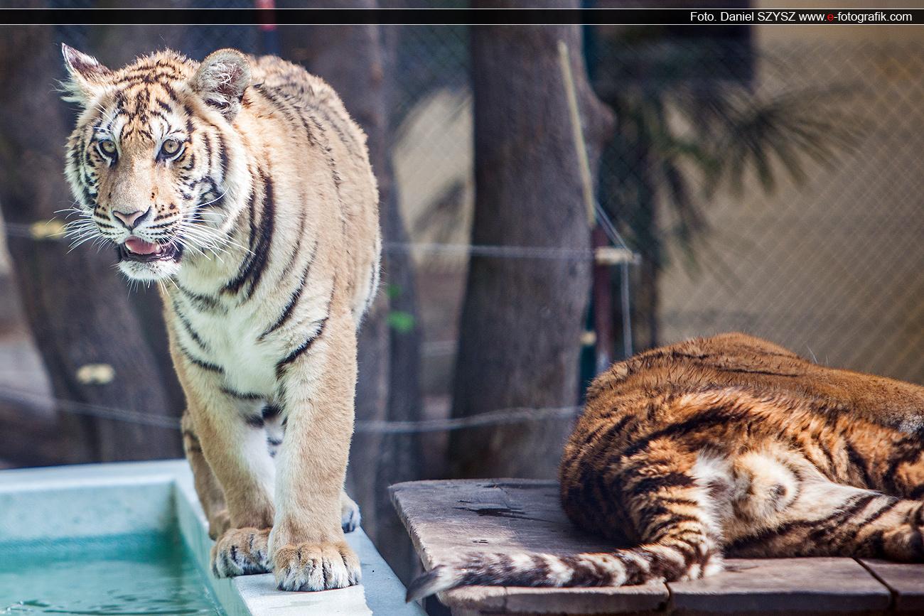 tygrysy-w-tajlandi-szysz-tavel