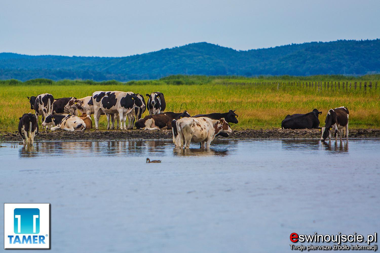 swinoujscie-karsiborska-kepa-tamer-krowy