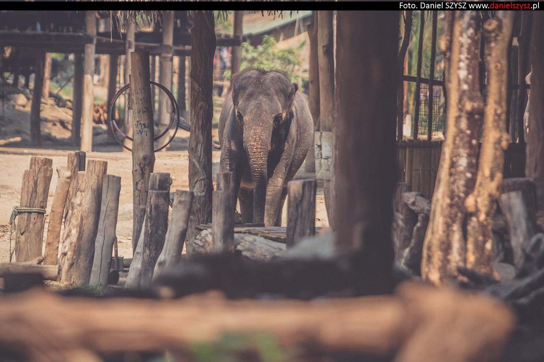 tajlandia-chiang-mai-pokazy-sloni-554