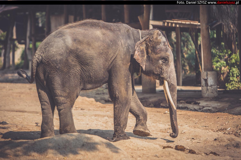 tajlandia-chiang-mai-pokazy-sloni-562