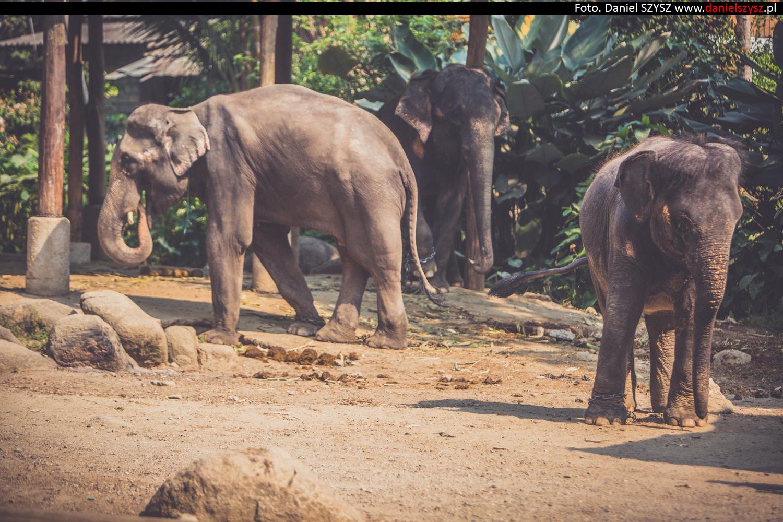 tajlandia-chiang-mai-pokazy-sloni-564