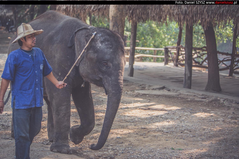 tajlandia-chiang-mai-pokazy-sloni-575