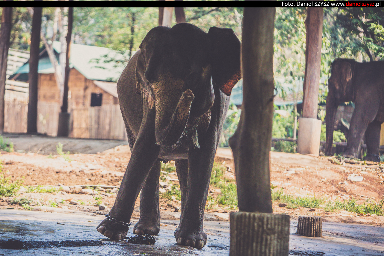 tajlandia-chiang-mai-pokazy-sloni-577