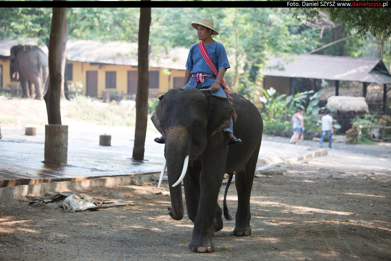 tajlandia-chiang-mai-pokazy-sloni-647