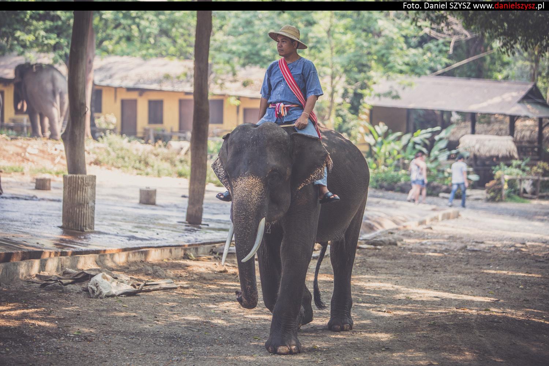 tajlandia-chiang-mai-pokazy-sloni-6471