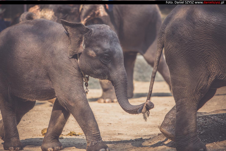 tajlandia-chiang-mai-pokazy-sloni-667