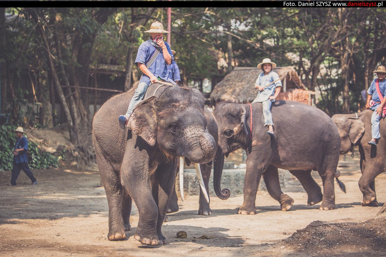 tajlandia-chiang-mai-pokazy-sloni-668