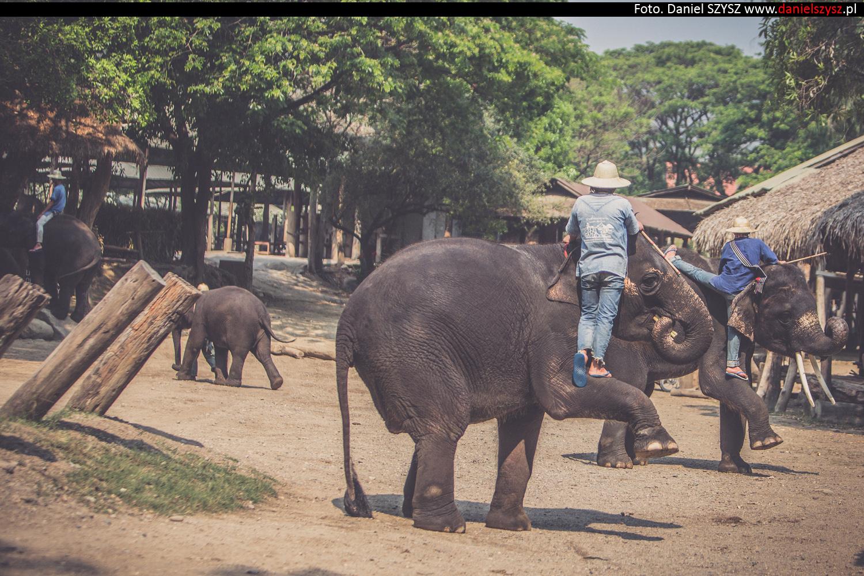 tajlandia-chiang-mai-pokazy-sloni-671