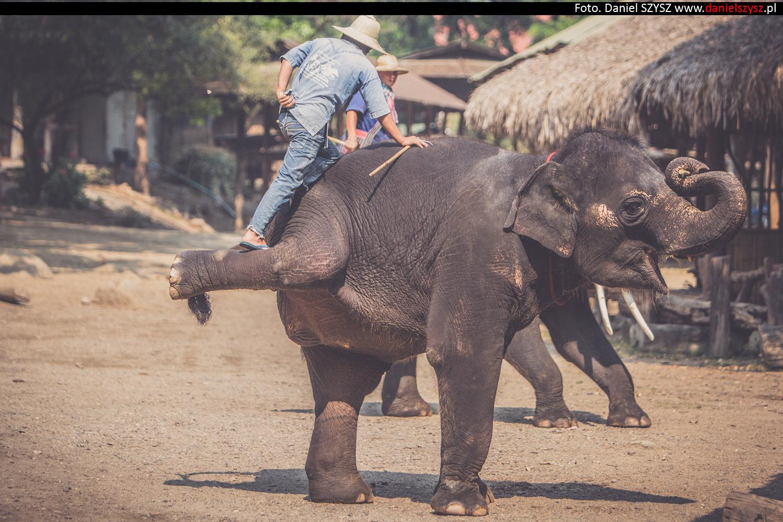 tajlandia-chiang-mai-pokazy-sloni-674