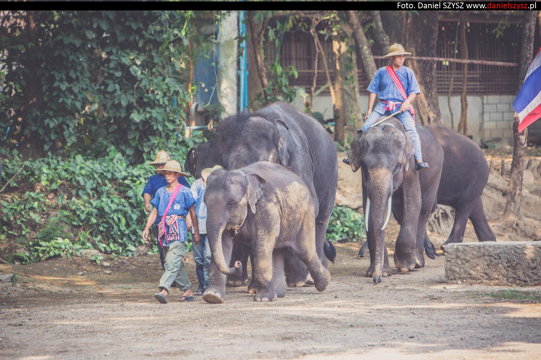 tajlandia-chiang-mai-pokazy-sloni-697