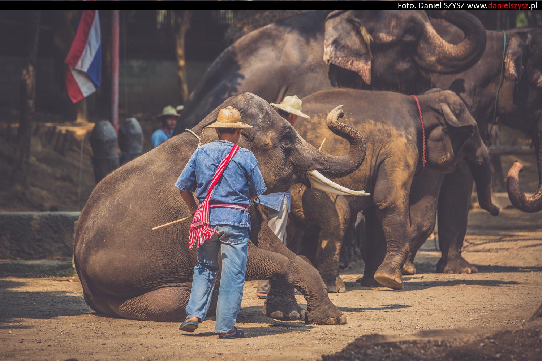 tajlandia-chiang-mai-pokazy-sloni-701