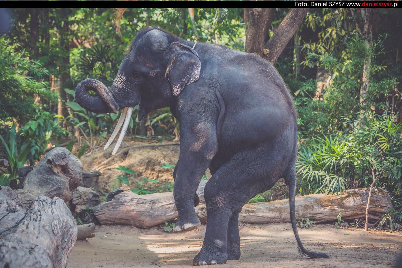tajlandia-chiang-mai-pokazy-sloni-717