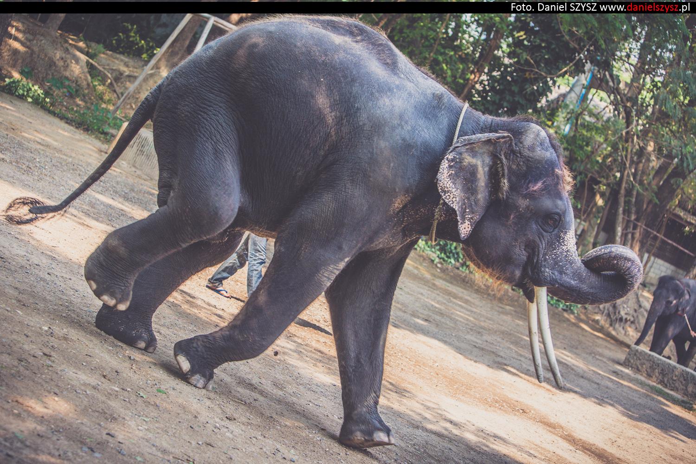 tajlandia-chiang-mai-pokazy-sloni-721