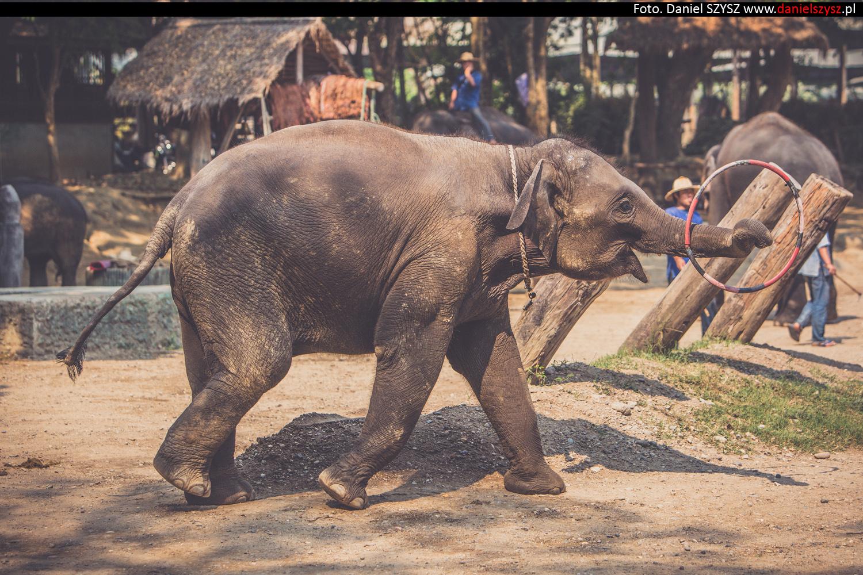 tajlandia-chiang-mai-pokazy-sloni-725