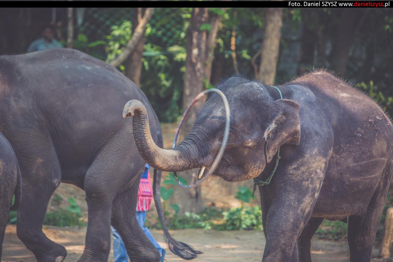 tajlandia-chiang-mai-pokazy-sloni-733