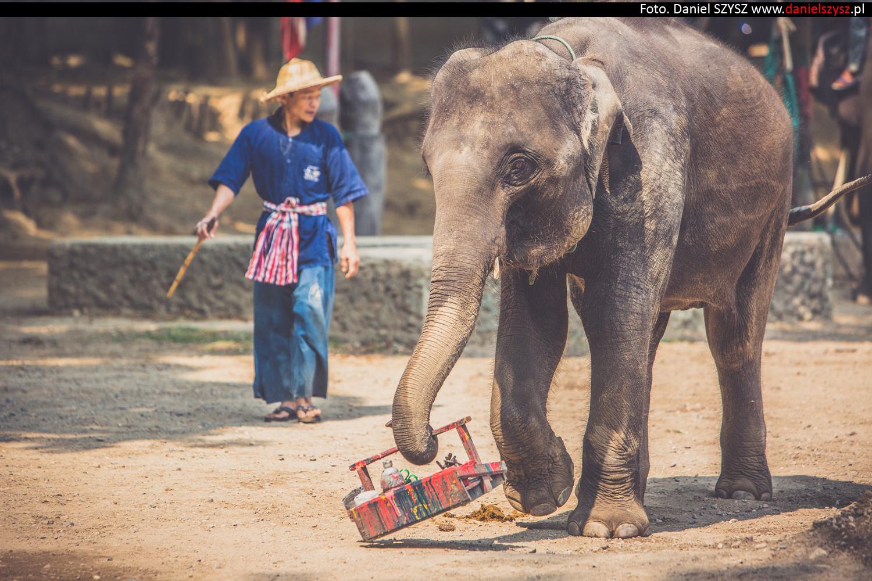 tajlandia-chiang-mai-pokazy-sloni-783