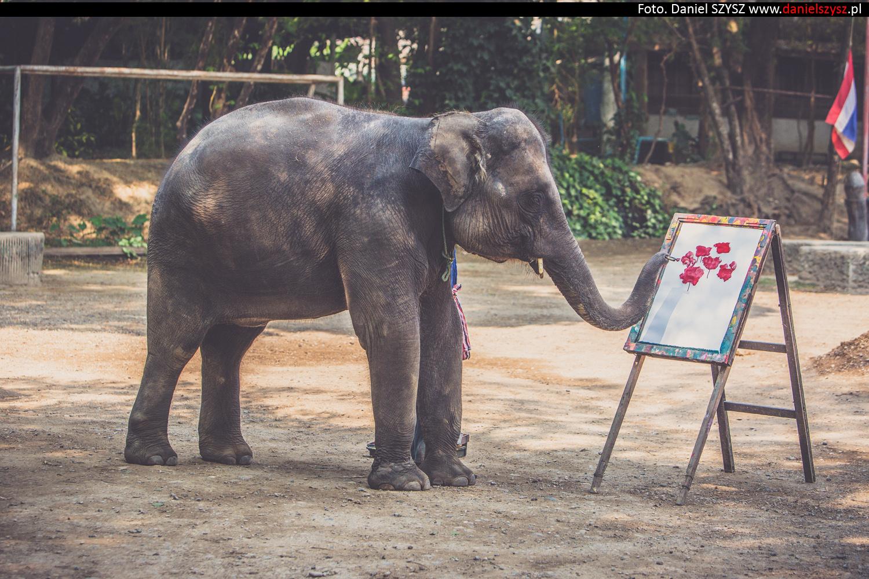 tajlandia-chiang-mai-pokazy-sloni-811